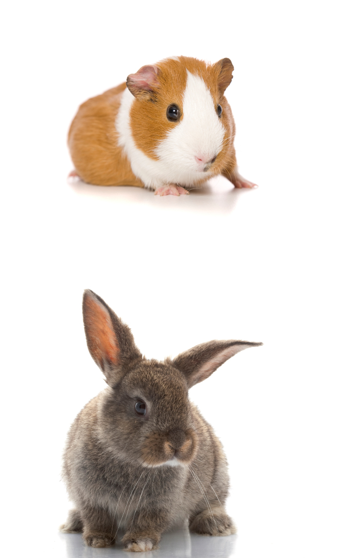 Guinea Pig and Grey Rabbit